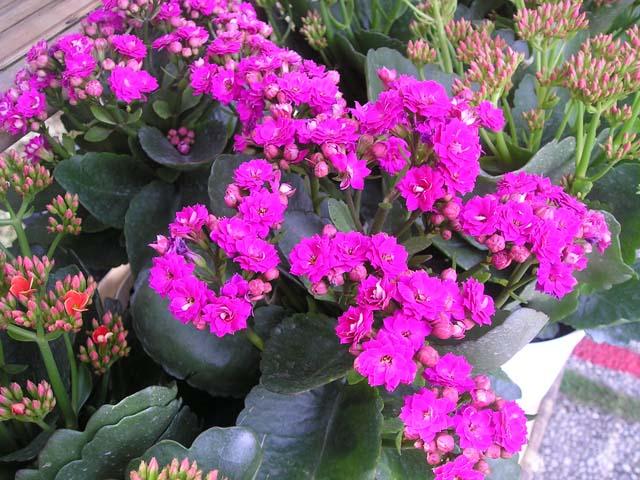 Kỹ thuật trồng và chăm sóc cây sống đời cho hoa nở rực rỡ đón Tết - ảnh 5