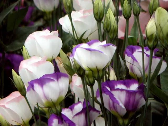 Hoa cát tường là loài hoa không rực rỡ nhưng lại rất quyến rũ. Ảnh minh họa