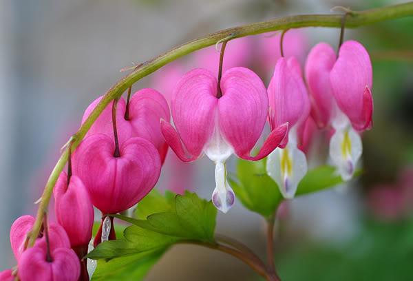 Vẻ đẹp kiêu sa của hoa tigon. Ảnh minh họa
