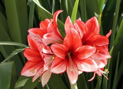 Hoa loa kèn có nhiều màu sắc khác nhau.