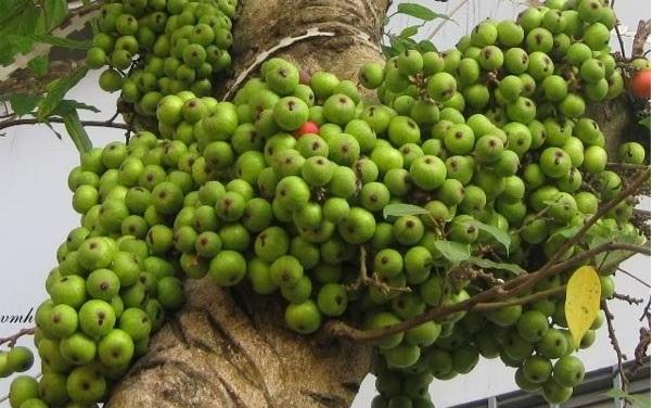 Có thể kích thích cây sung ra quả bằng cách ngừng tưới nước 15,20 ngày. Ảnh minh họa