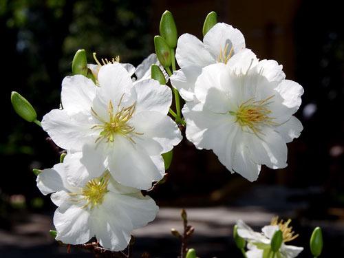 Cây Mai trắng là loài mai quý hiếm, chỉ sống ở những nơi có mùa đông và giá lạnh.