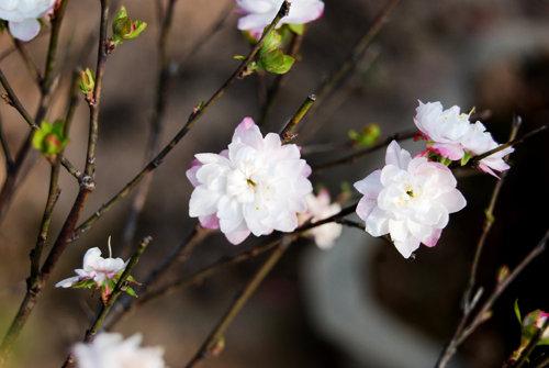 Kỹ thuật trồng và chăm sóc cây Mai trắng tương đối phức tạp.