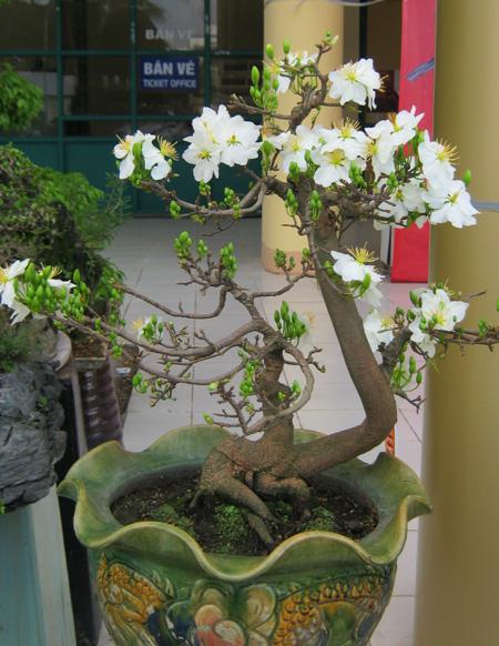 Cách chăm sóc cây Mai trắng cũng khá cầu kỳ vì cây tương đối ''khó tính''.