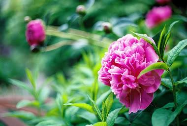 Để hoa Mẫu đơn luôn nở tươi trong những ngày Tết cần đặc biệt chú ý tới khâu bón phân và tưới nước. Ảnh minh họa