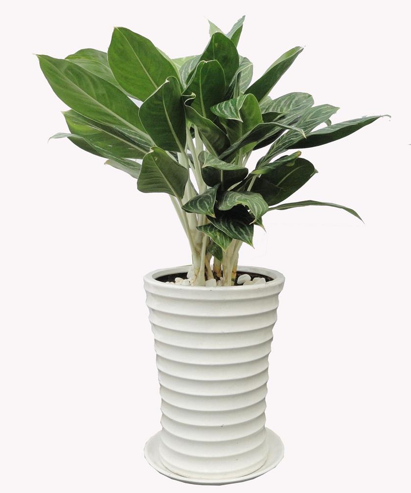 Cây Bạch Mã Hoàng Tử ưa mát nên Kỹ thuật trồng cây Bạch Mã Hoàng Tử phải chú ý tới điều kiện thời tiết. Ảnh minh họa