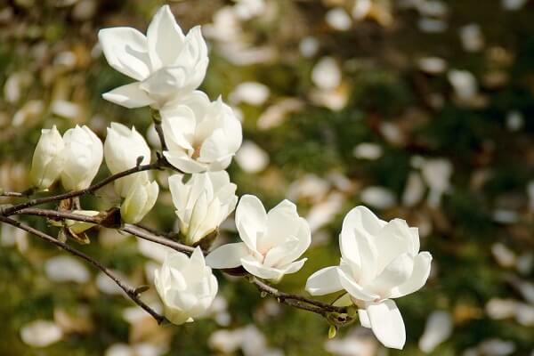 Hương mộc lan rất thơm nên còn được ưa chuộng chiết xuất nước hoa.