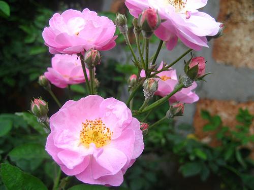 Cây hoa tầm xuân có nhiều gai còn gọi là hoa hồng có gai thuộc cây bụi mọc dày. Ảnh minh họa