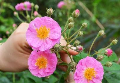 Kỹ thuật trồng cây hoa tầm xuân có thể trồng hạt nhưng tốt nhất là trồng bằng cành. Ảnh minh họa
