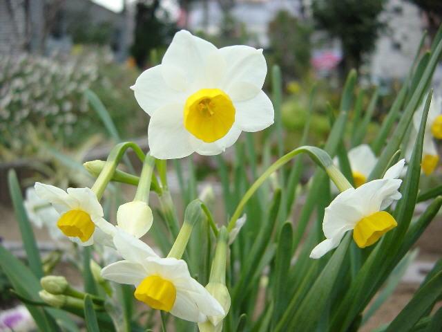 Hoa thủy tiên chứa chất cực độc có thể gây co giật nếu ăn phải. Ảnh minh họa