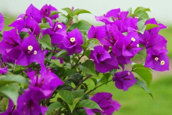Hoa giấy có ý nghĩa xua đuổi, ngăn chặn khí hung và mang may mắn cho gia chủ. Ảnh minh họa