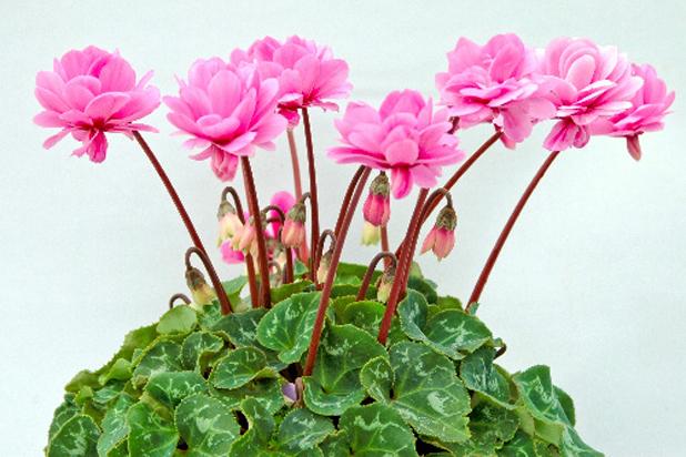 Kỹ thuật trồng cây hoa anh thảo không quá khó nếu bỏ chút thời gian chăm sóc. Ảnh minh họa