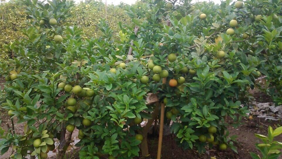 Kỹ thuật trồng cây chanh đào cho quả sai trĩu cành - ảnh 3