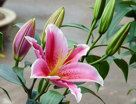 Trong danh sách các loài hoa chơi Tết không thể loại bỏ hoa ly nhưng hoa này lại rất độc cần thận trọng. Ảnh minh họa