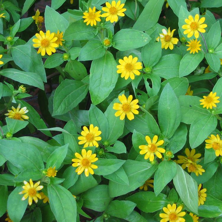 Kỹ thuật trồng cây hoa cúc mặt trời chỉ cần dựa vào yếu tố tưới nước, bón phân và thời tiết sẽ cho ra hoa đẹp. Ảnh minh họa