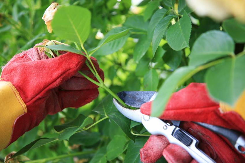 Kỹ thuật trồng hoa Hồng Đà Lạt có thể theo phương pháp giâm cành, trồng gốc. Ảnh minh họa