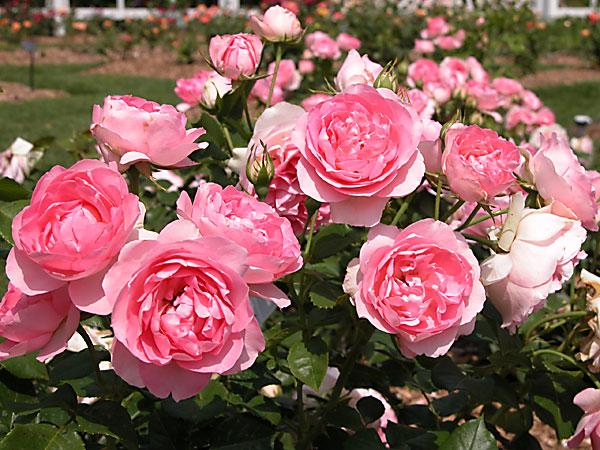 Cách chăm sóc hoa Hồng Đà Lạt có bông to, nở đẹp cần chú ý tới cắt tỉa cành, tưới nước cho cây. Ảnh minh họa