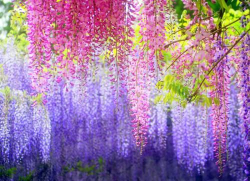 Hoa Tử Đằng là loài hoa tượng trưng cho tình yêu bất diệt. Ảnh minh họa