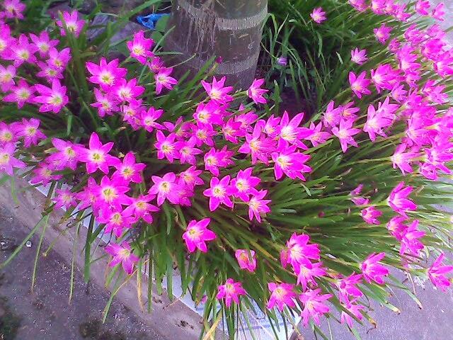 Hoa Tóc tiên thường nở vào mùa Đông và đầu Xuân. Ảnh minh họa