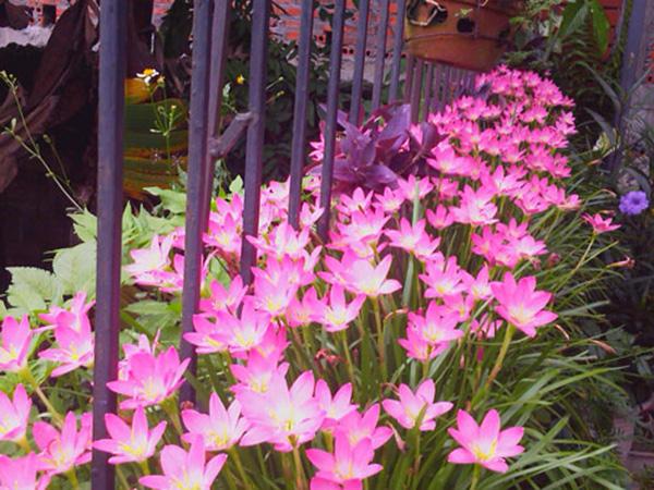 Không chỉ làm cảnh cây hoa Tóc tiên còn có thể lọc không khí. Ảnh minh họa