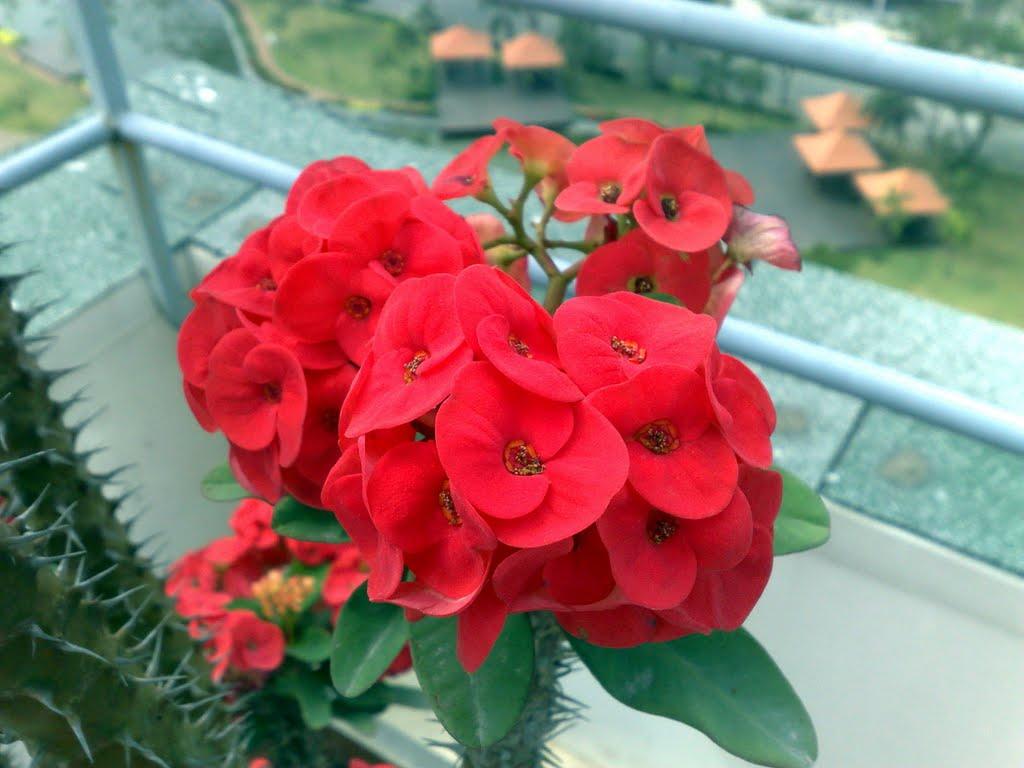 Kỹ thuật trồng cây Xương Rồng Bát Tiên có thể trồng chậu, trồng bụi làm hàng rào, cây trang trí sân vườn. Ảnh minh họa