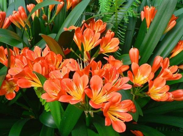 Hoa Lan quân tử được coi là loài hoa sang trọng, vương giả đem đến sự danh giá, phú quý cho chủ nhân. Ảnh minh họa
