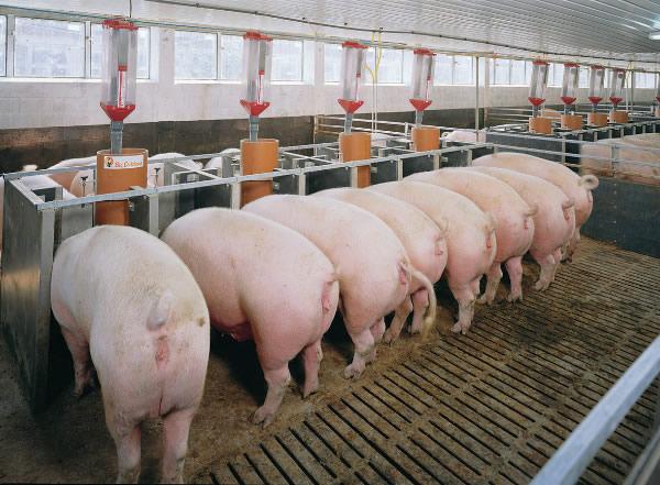 Để lợn nái sinh trưởng và đẻ nhiều thì việc chọn giống rất quan trọng. Ảnh minh họa