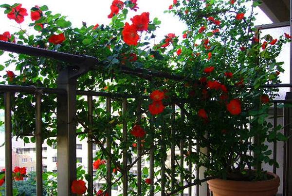 Trồng hoa Hồng leo ban công là xu thế được nhiều người chuộng. Ảnh minh họa