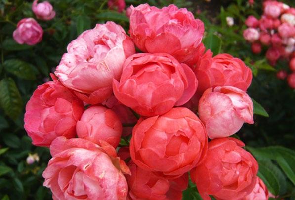 Hoa Hồng baby có vẻ đẹp sang trọng, quyến rũ. Ảnh minh họa