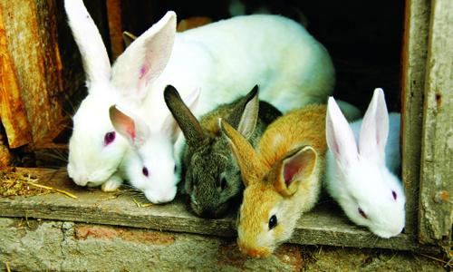 Kỹ thuật nuôi và chăm sóc thỏ sinh sản cũng cần đặc biệt chú ý khi thỏ chuẩn bị đẻ. Ảnh minh họa