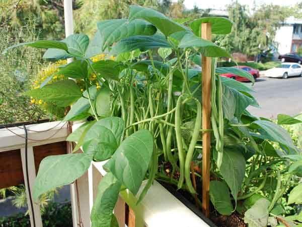 Đậu cô ve lùn là loài cây ít sâu bệnh, kỹ thuật trồng cây đậu cô ve trong thùng xốp lại đơn giản. Ảnh minh họa