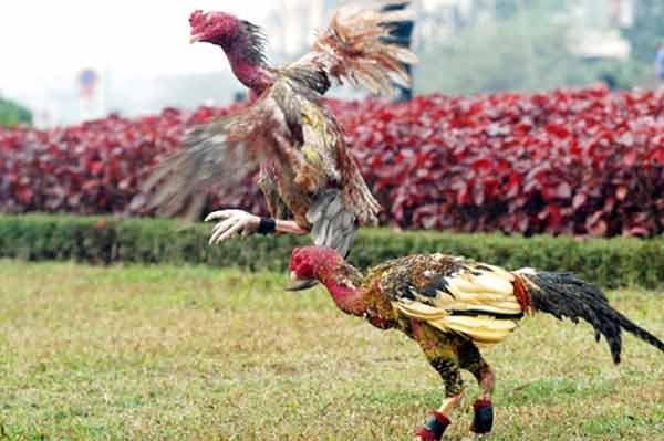 Kỹ thuật nuôi gà chọi máu lửa không phải đơn giản. Ảnh minh họa