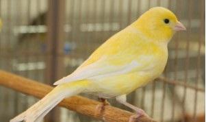 Kỹ thuật nuôi chim Yến hót hay nhất ngoài chọn giống tốt cũng cần chăm sóc tỷ mỉ. Ảnh minh họa