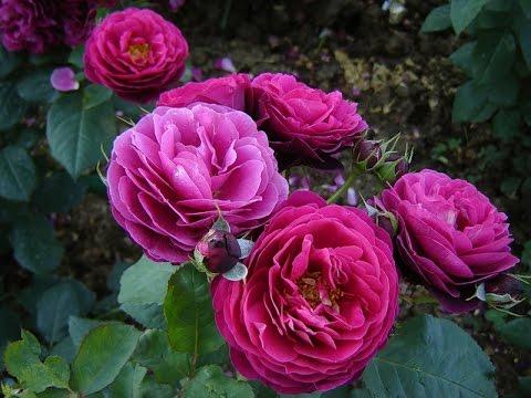 Kỹ thuật trồng cây hoa hồng tứ quý leo cho tường nhà quyến rũ - ảnh 2