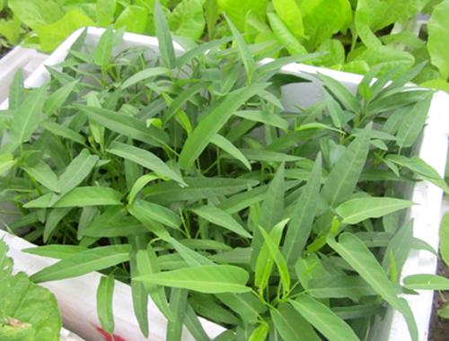 Kỹ thuật trồng cây rau muống trong thùng xốp chỉ cần khoảng hơn một tháng là gia đình bạn đã có rau ăn. Ảnh minh họa