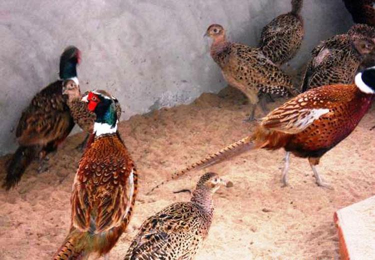 Để kỹ thuật nuôi chim trĩ đỏ sinh sản hiệu quả cao cần nắm vững các bước nuôi và chăm sóc cơ bản. Ảnh minh họa