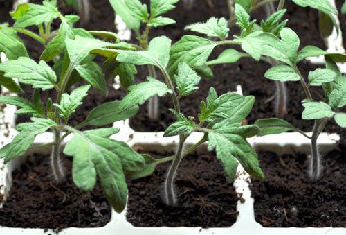 Kỹ thuật trồng cây cà chua tại nhà không quá phức tạp. Ảnh minh họa