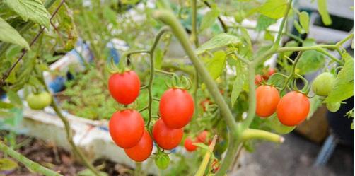 Để có được những quả cà chua sai trĩu cành cần chú ý chăm sóc cẩn thận khi thụ phấn và đậu quả. Ảnh minh họa