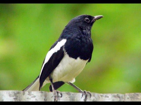 Kỹ thuật nuôi và chăm sóc chim Chích Chòe than - ảnh 2