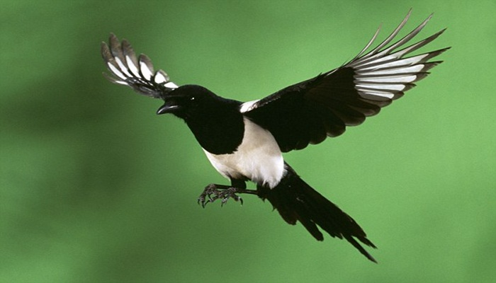 Chim Chích Chòe than là loài chim khá đặc biệt, chúng thường tìm những cành cây cao nhất để hót. Ảnh minh họa