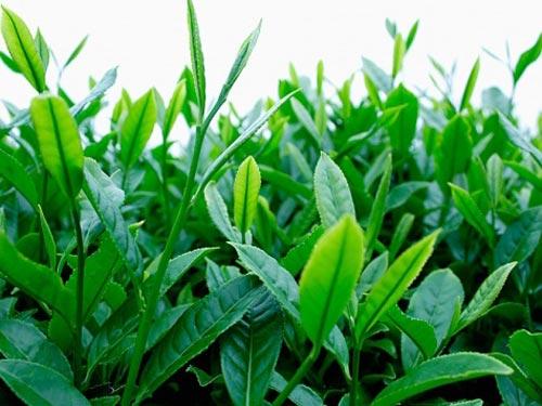 Trà xanh có tác dụng giảm cân, làm đẹp và là thức uống được nhiều người chuộng. Ảnh minh họa