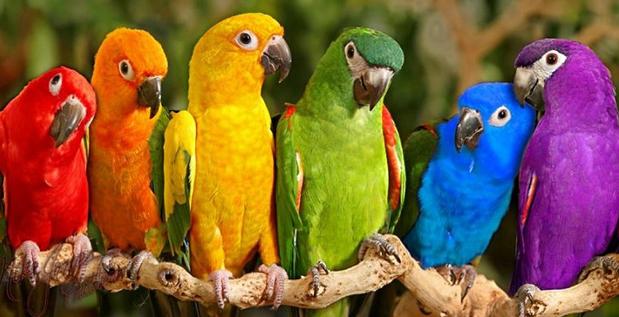 Vẹt đuôi dài có nhiều giống khác nhau nhưng chúng đều rất đẹp và thông minh. Ảnh minh họa