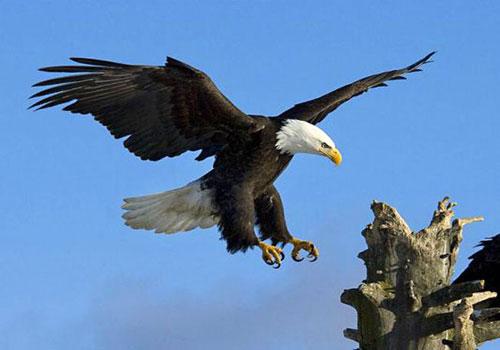 Kỹ thuật nuôi chim Đại Bàng cực kỳ khó khăn phải kiên trì. Ảnh minh họa