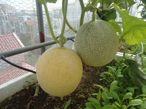 Kỹ thuật trồng cây dưa lưới tại nhà chỉ cần chú ý tới điều kiện thời tiết, ánh sáng thích hợp. Ảnh minh họa