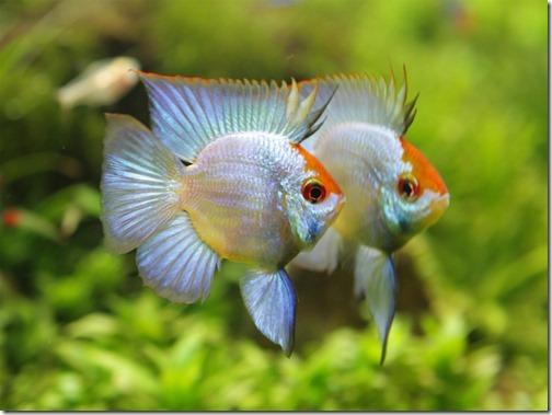 Kỹ thuật nuôi và chăm sóc cá Phượng Hoàng ngắm đã mắt - ảnh 1