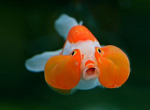 Kỹ thuật nuôi cá vàng mắt bong bóng không nên nuôi cùng cá khác vì 2 túi khí cận mắt rất dễ vỡ. Ảnh minh họa