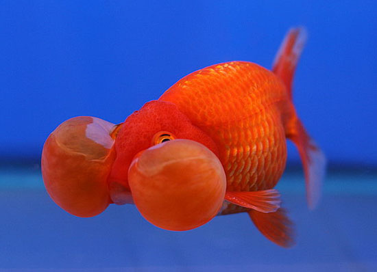 Kỹ thuật nuôi cá vàng mắt bong bóng cũng đặc biệt chú ý tới cách phòng bệnh. Ảnh minh họa