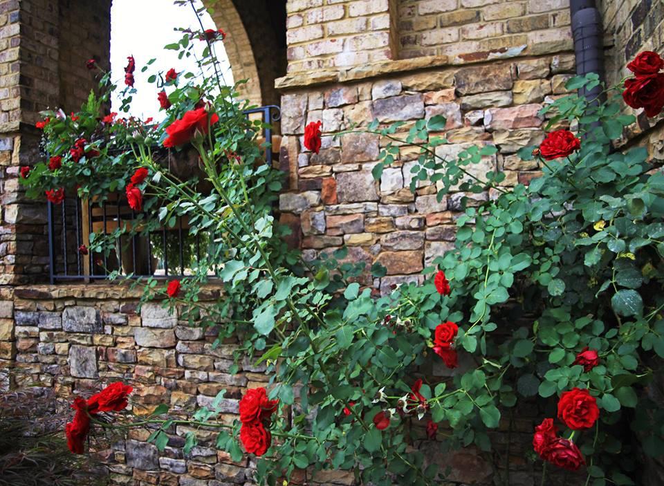 Kỹ thuật trồng cây hoa Hồng leo cổ Hải Phòng có thể áp dụng trồng bằng nhiều cách. Ảnh minh họa