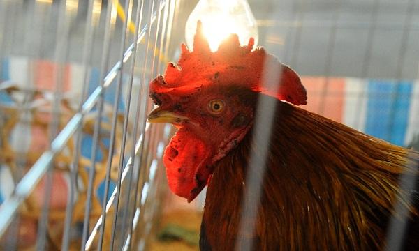 Để sở hữu những chú gà chín cựa khỏe mạnh bạn phải nắm bắt kỹ thuật nuôi và chăm sóc cơ bản nhất. Ảnh minh họa