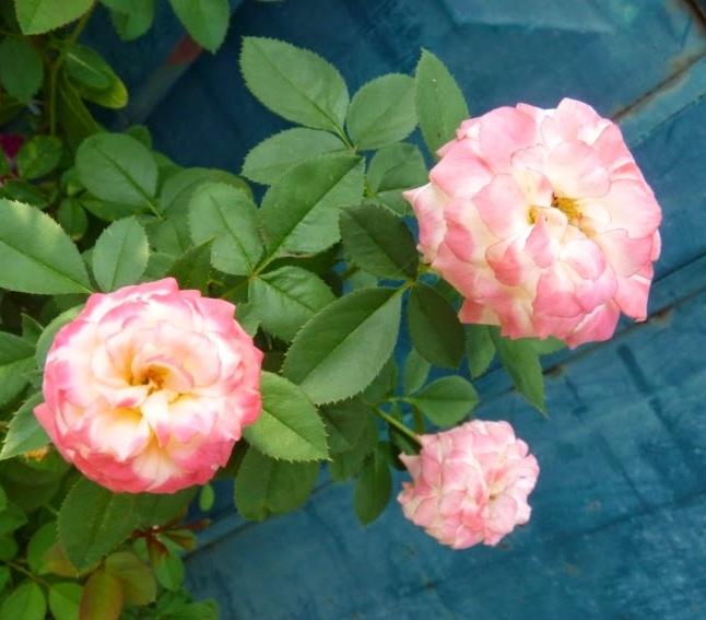 Kỹ thuật trồng cây hoa Hồng đổi màu tưởng phức tạp nhưng lại khá đơn giản. Ảnh minh họa